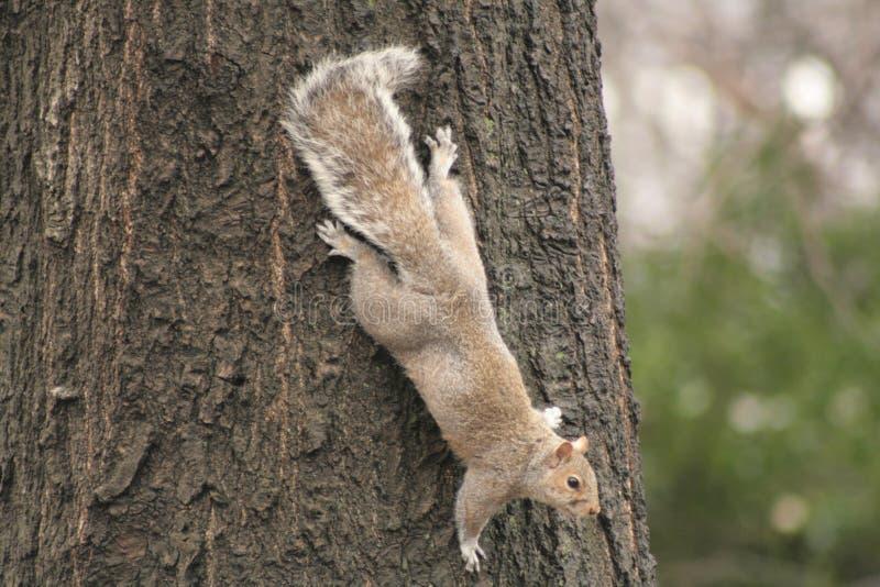 拥抱树的灰色灰鼠 免版税库存图片