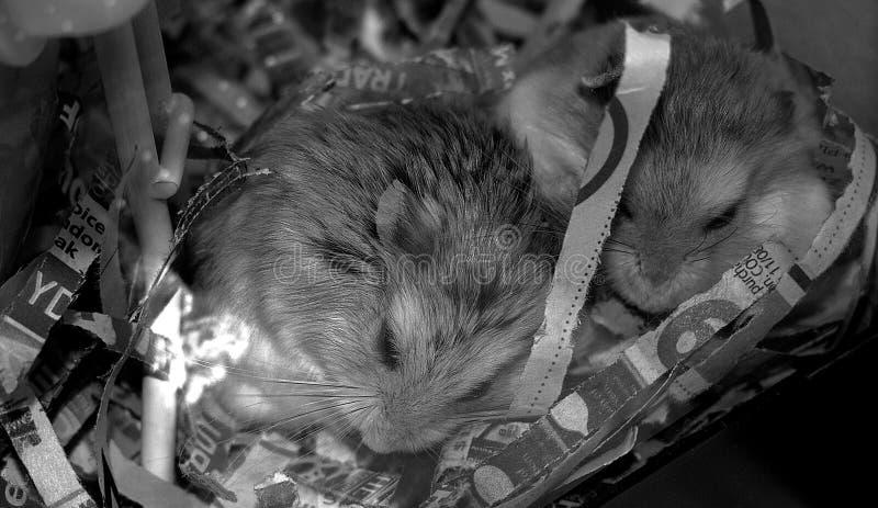 拥抱的仓鼠,当平安地睡觉时 免版税库存照片