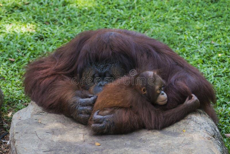 拥抱的猩猩母亲和她的婴孩 库存图片