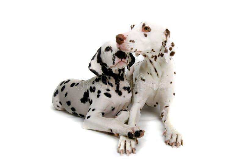 拥抱的达尔马提亚狗 免版税库存照片