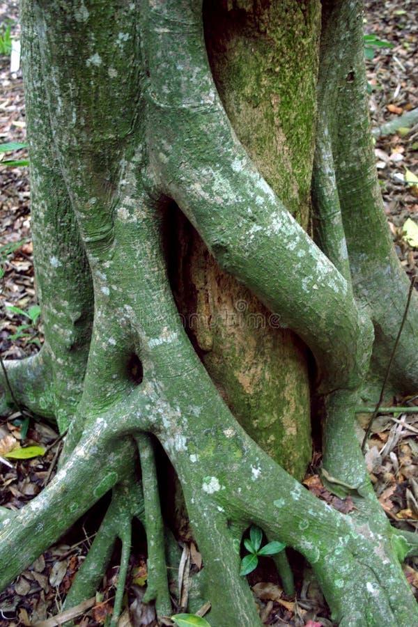 拥抱结构树的arboral容忍 免版税库存图片