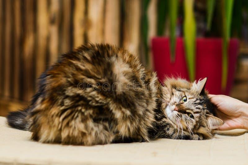 拥抱蓬松灰色猫的所有者说谎在长凳 免版税库存照片