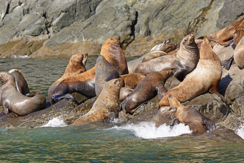 拥挤在岩石的星海狮 免版税图库摄影