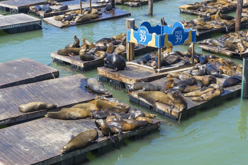 拥挤封印海狮在码头39 库存图片