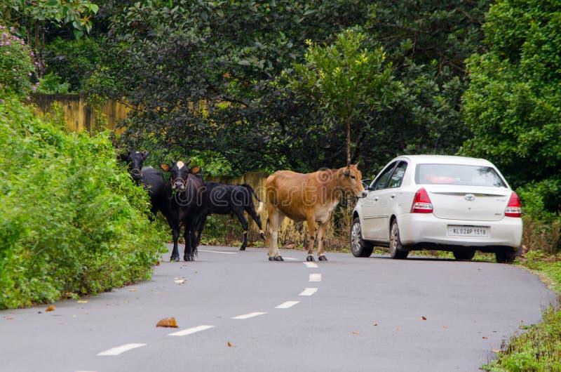 阻拦路的牛 免版税库存照片