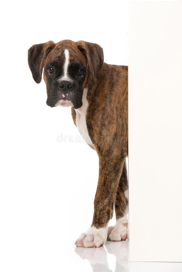 拳击手小狗在角落附近看 库存图片