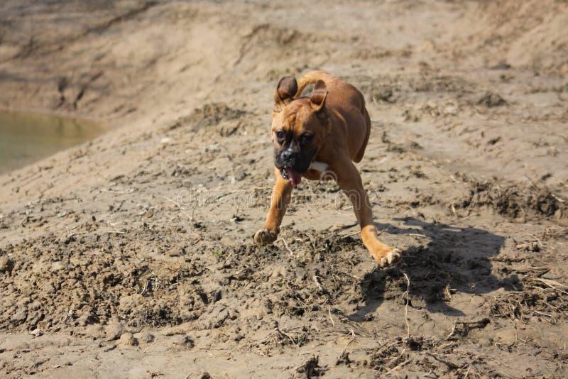拳击手狗奔跑 库存照片