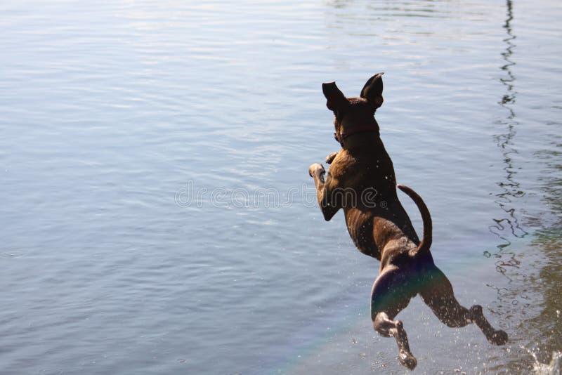 拳击手狗跳到水 库存图片