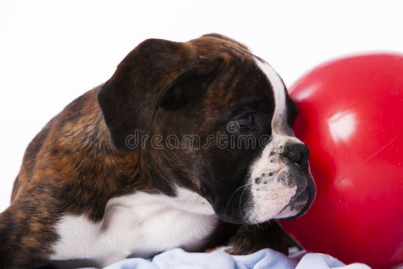 拳击手狗 库存图片