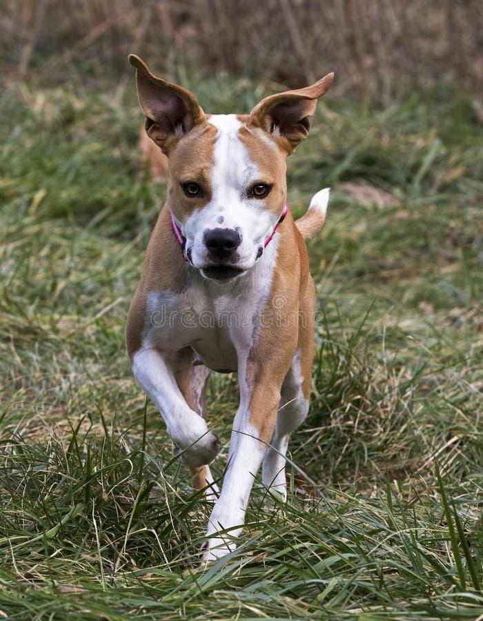 拳击手美洲叭喇被混合的品种狗 图库摄影