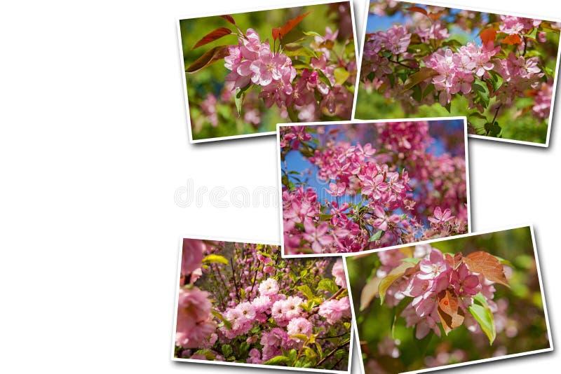 拼贴画开花的苹果树在庭院里,在树的花  免版税库存图片