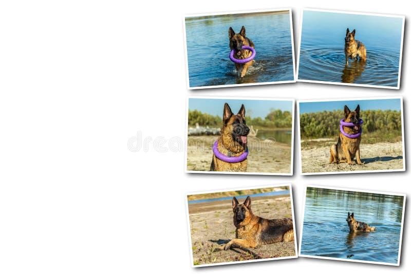 拼贴画德国牧羊犬,人` s最好的朋友,喜爱,宠物,护卫犬,嘘 免版税库存照片