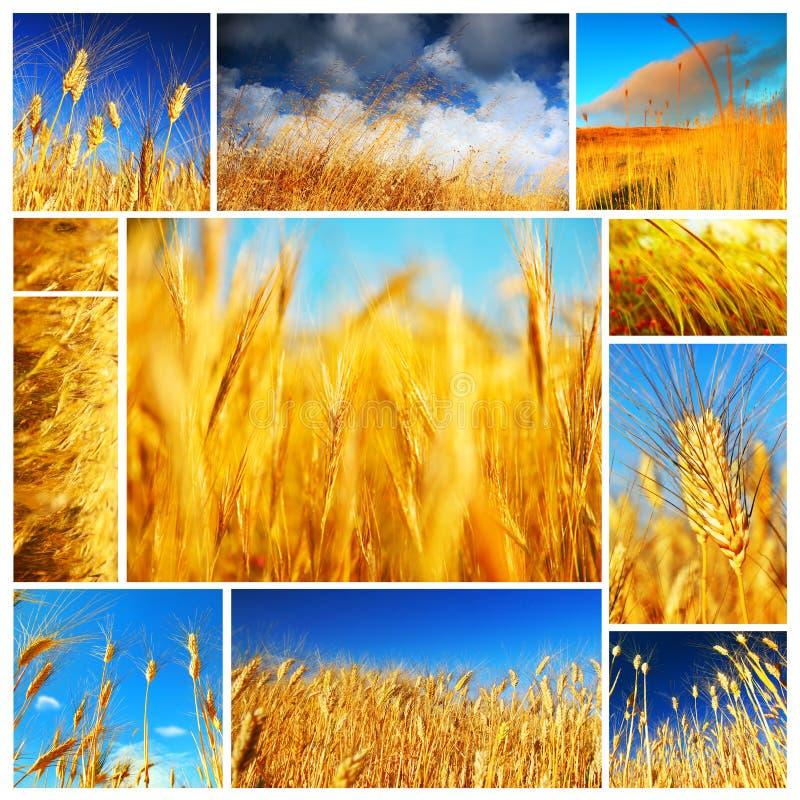 拼贴画领域麦子 免版税库存照片