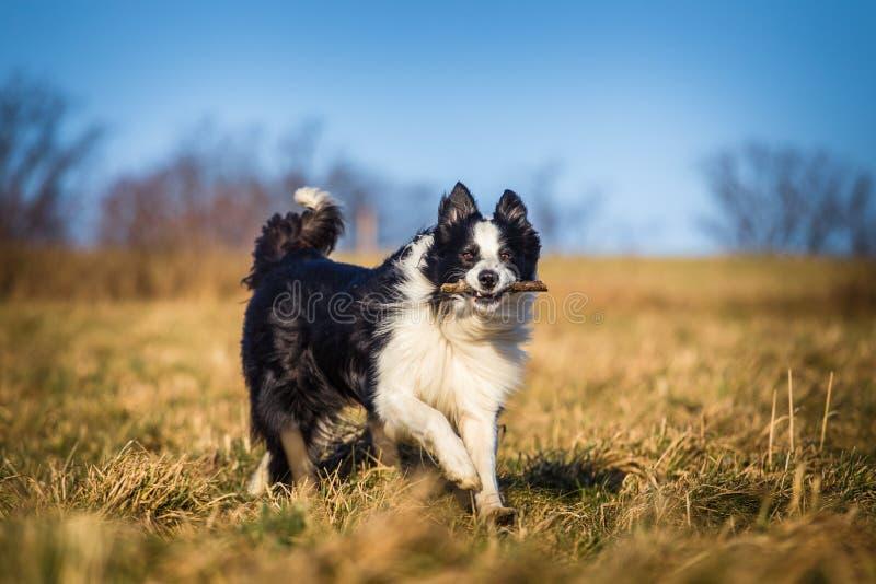 拿来的博德牧羊犬 免版税库存图片