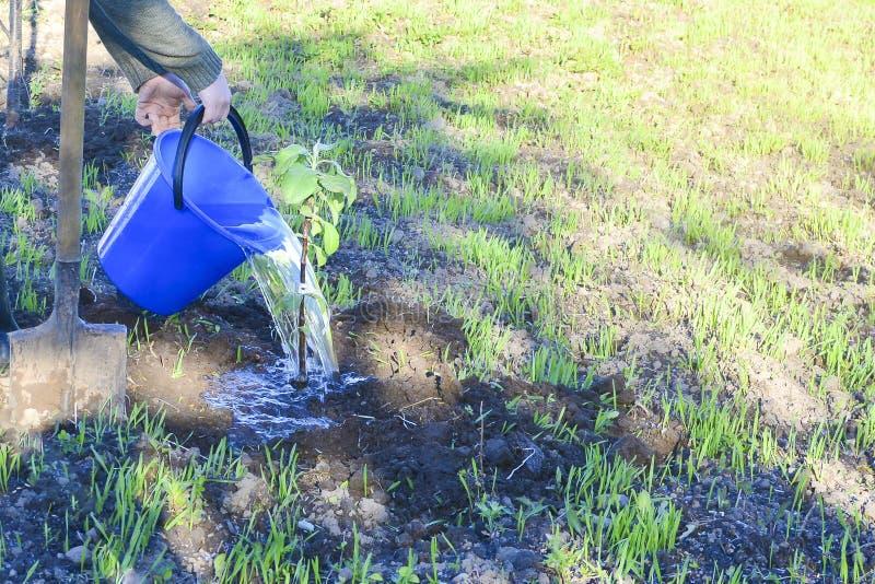 拿着一个蓝色桶水和浇灌苹果树的手 妇女浇灌的苹果树 使用一个蓝色桶 免版税图库摄影