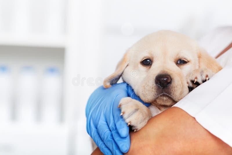拿着一只逗人喜爱的拉布拉多小狗的兽医医疗保健专家 库存照片