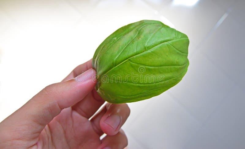 拿着一片新鲜的绿色蓬蒿叶子的一只手 免版税库存照片