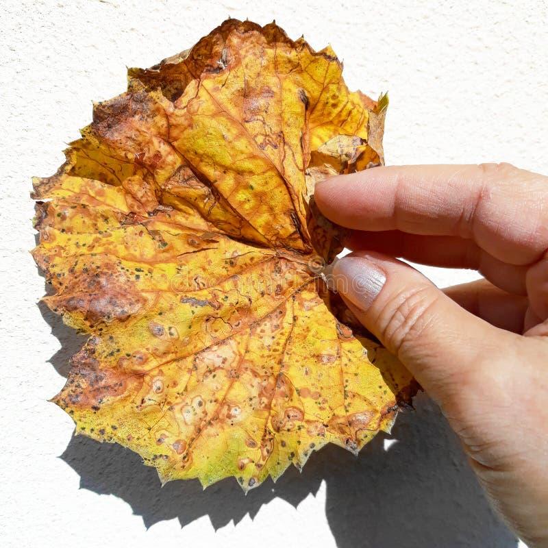 拿着一片生锈的秋天叶子的妇女手 免版税库存照片