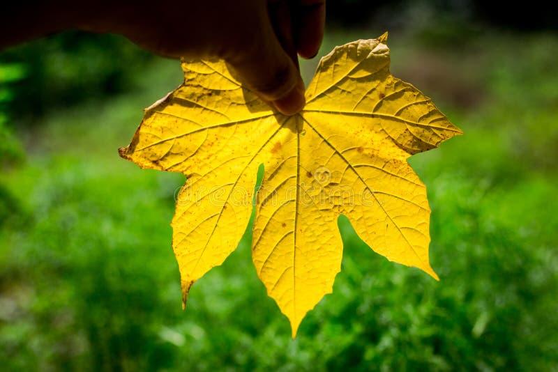 拿着一片黄色叶子有从领域的绿色背景的手图片