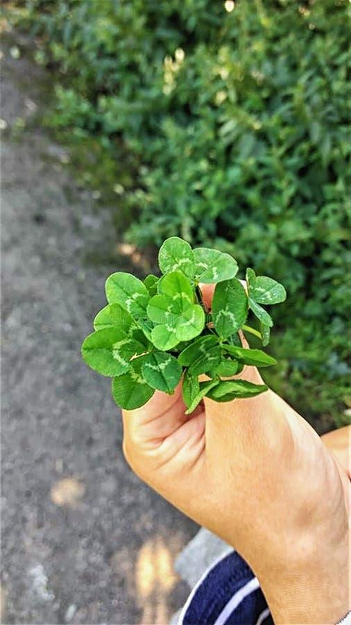 拿着三棵四叶三叶草的花束幸运的手.图片