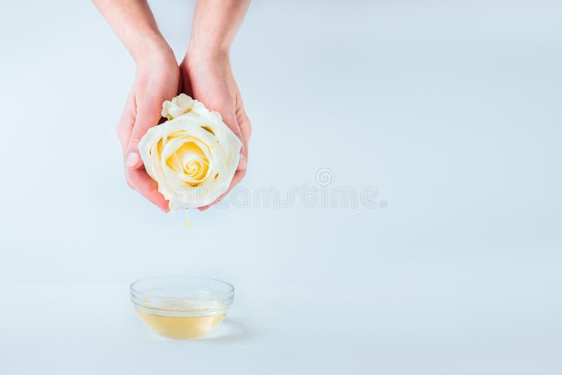 拿着与下跌的精油下落的女性手新鲜的玫瑰色花在白色背景的一个玻璃碗上被隔绝 免版税图库摄影
