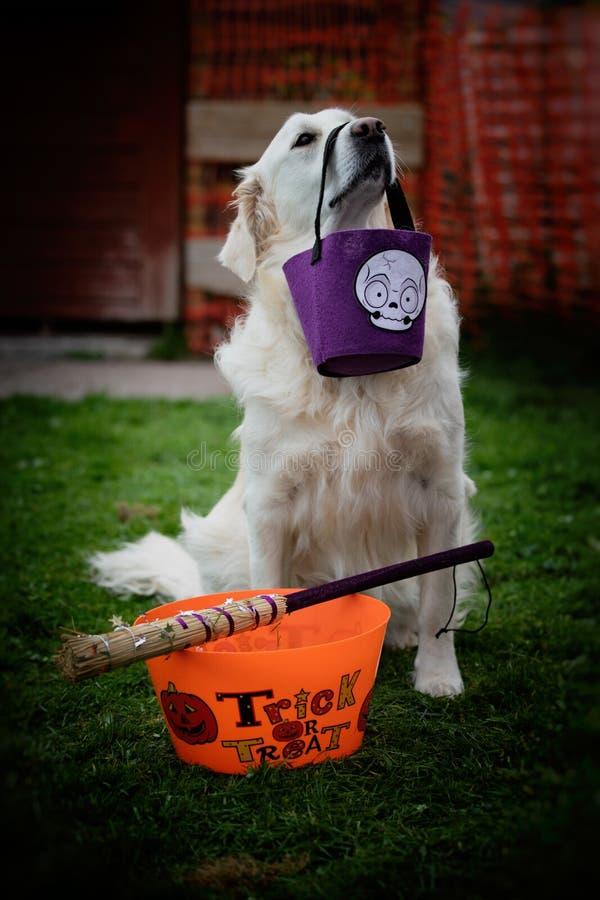 拿着与它的鼻子的从前的猎犬一个万圣夜糖果袋子与一个把戏或款待容器和巫婆的扫帚在草 免版税库存图片