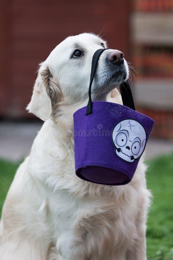 拿着与它的鼻子的纯血统白色金毛猎犬一个万圣夜糖果袋子 库存照片