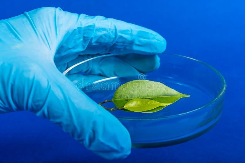 拿着与植物的科学家一个培养皿 库存照片