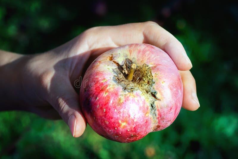 拿着与苹果斑点病的Woman's手一个苹果 免版税库存图片
