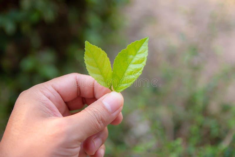 拿着两片软的绿色叶子的手 库存图片图片