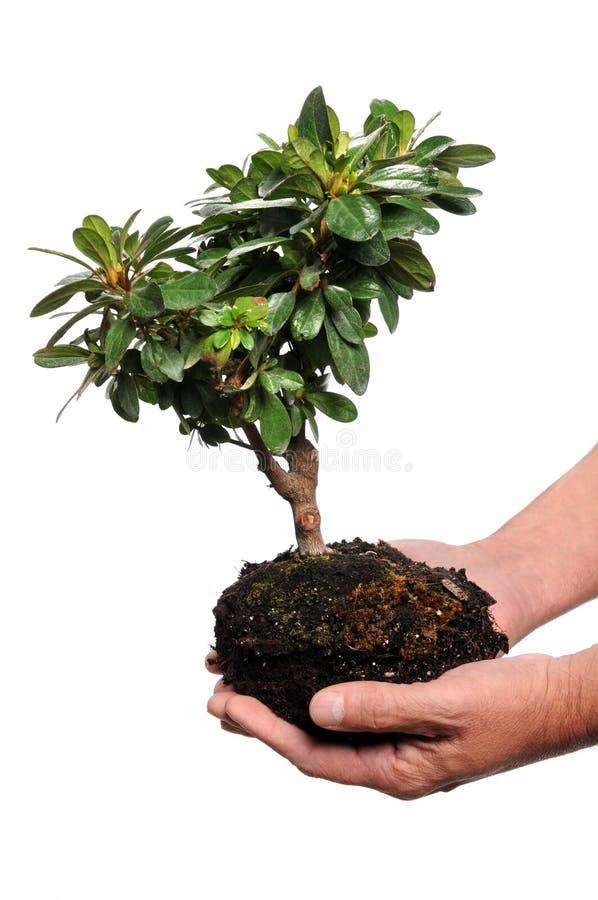 拿着人s结构树的现有量 免版税库存图片