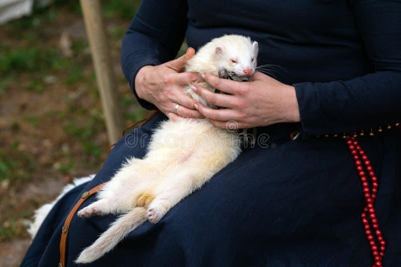 拿着可爱的白色白鼬的妇女手户外 睡觉在妇女膝盖的毛茸的银色白鼬外面 图库摄影