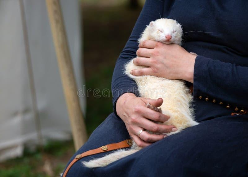 拿着可爱的白色白鼬的妇女手户外 睡觉在妇女膝盖的毛茸的银色白鼬外面 免版税库存照片
