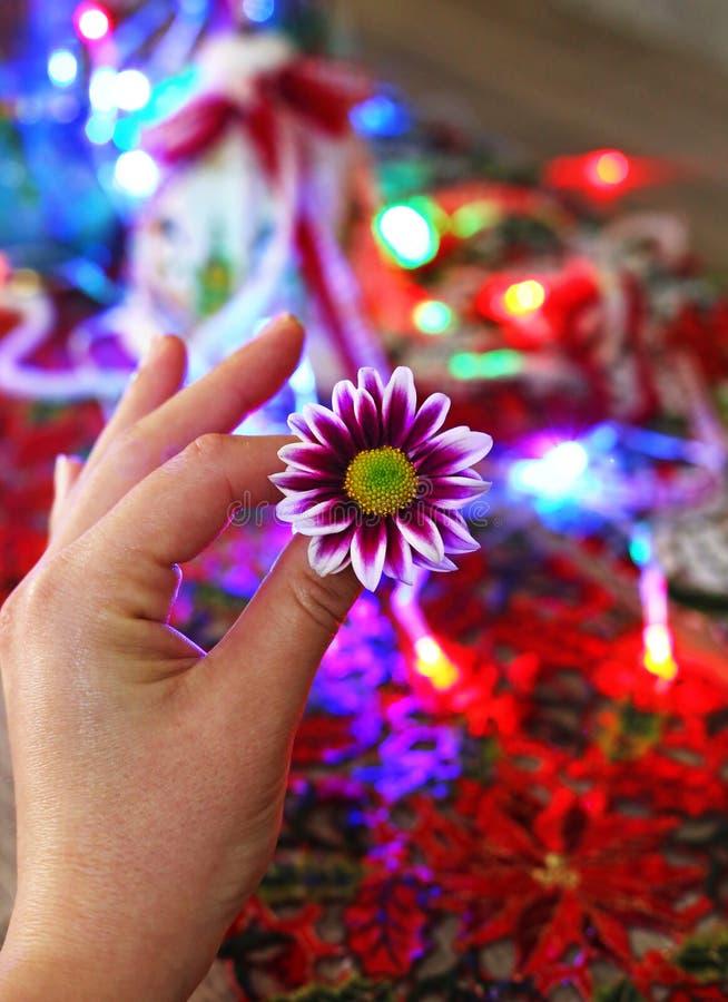 拿着在圣诞节装饰品-五颜六色的圣诞灯前面的手一朵紫色雏菊花 免版税库存照片