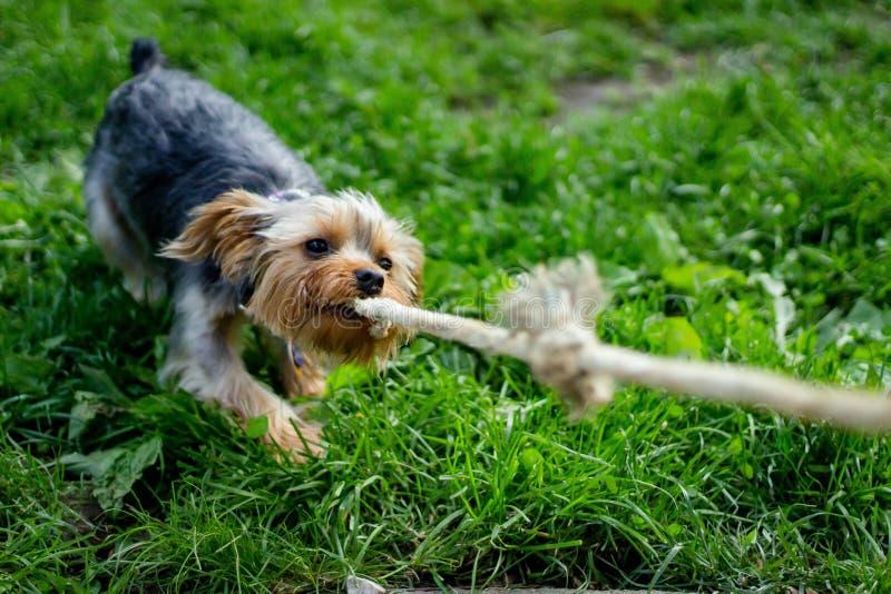 拿着在它的嘴的一条绳索和把它向后拉的狗 免版税库存图片