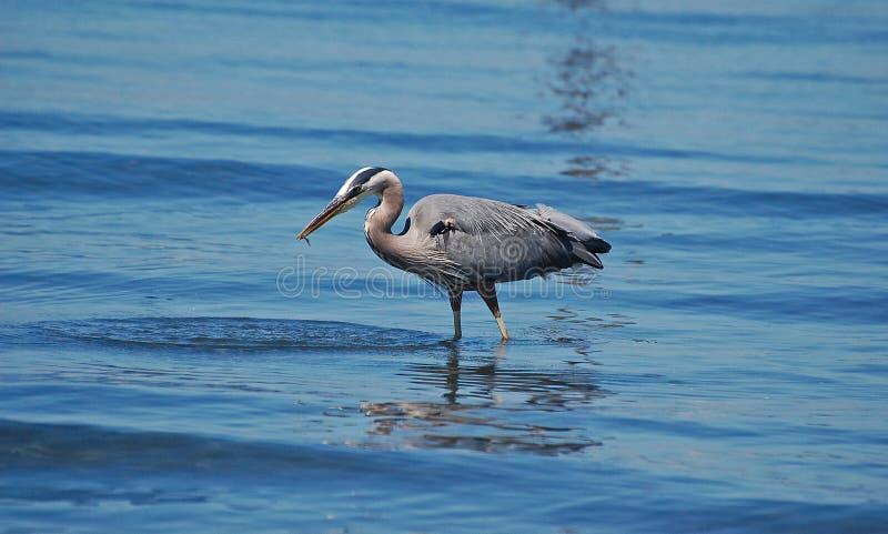 拿着在它的额嘴的伟大蓝色的苍鹭的巢一条鱼 图库摄影