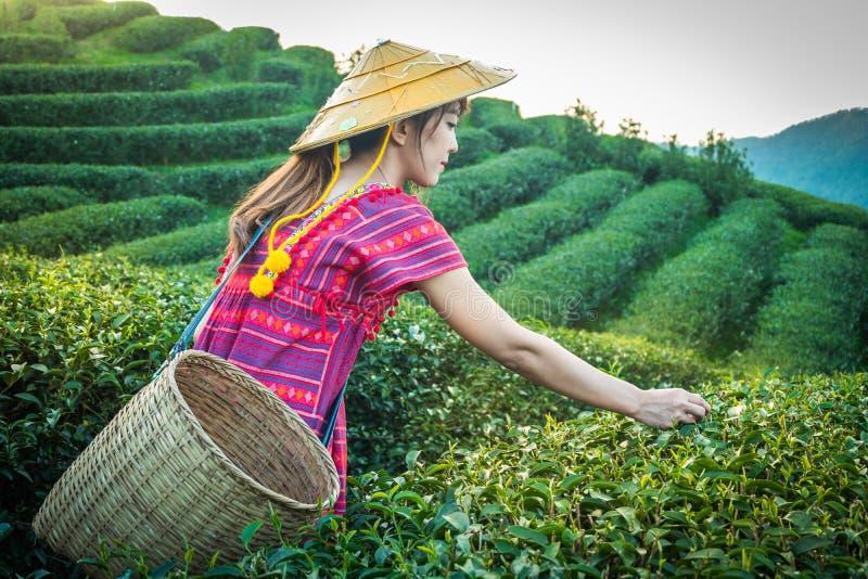 拿着在小山的地方小山部落的妇女年轻绿色茶叶在与日落光芒的晚上在土井美斯乐Mae华氏Luang Ch 库存照片