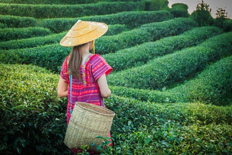 拿着在小山的地方小山部落的妇女年轻绿色茶叶在与日落光芒的晚上在土井美斯乐Mae华氏Luang Ch 免版税库存照片