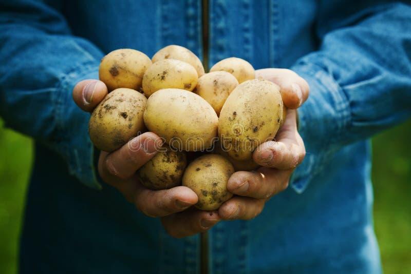 拿着在手上土豆的收获农夫在庭院里 有机蔬菜 种田 库存照片