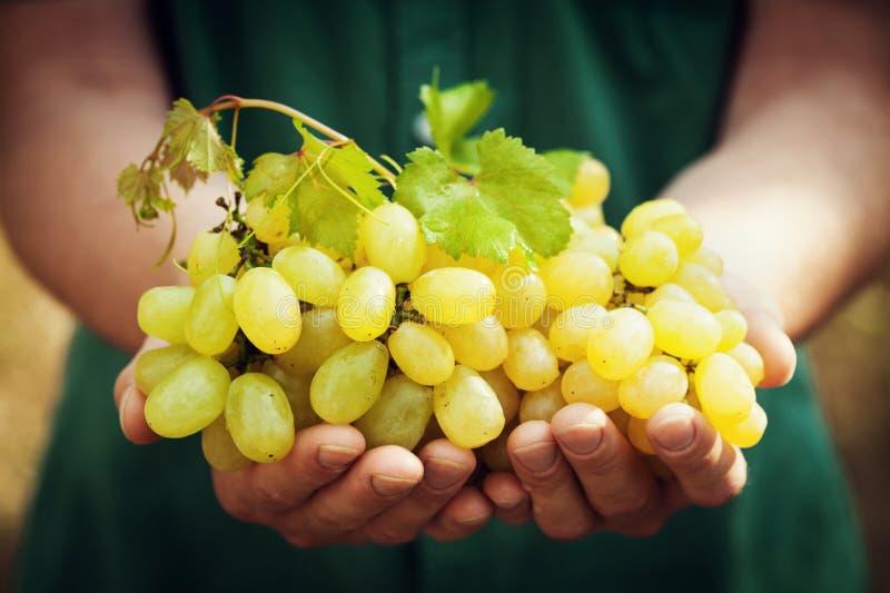 拿着在手上成熟葡萄的收获酿酒商 有机果子和农厂题材 免版税图库摄影