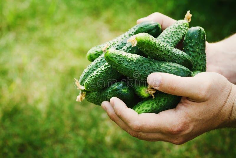 拿着在手上绿色黄瓜的收获农夫在庭院里 自然和有机菜 种田 免版税库存图片