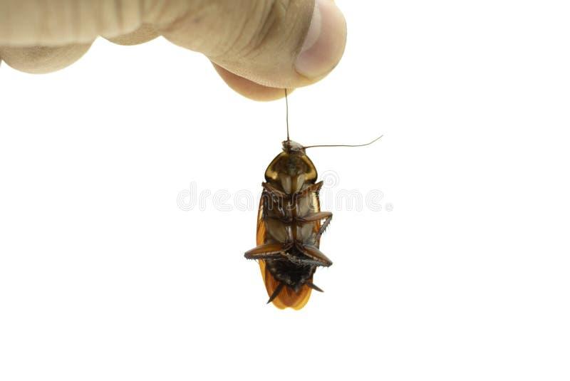 拿着在白色背景的手一只死的蟑螂 库存照片