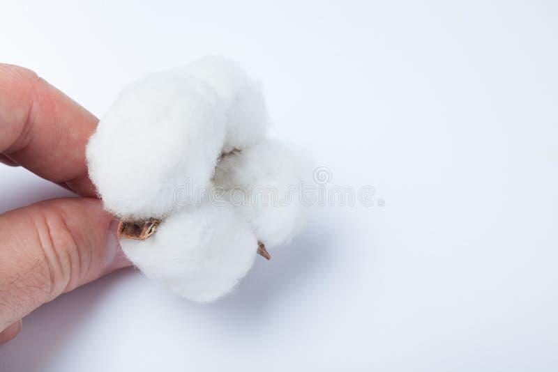 拿着在白色背景的手棉花 库存照片