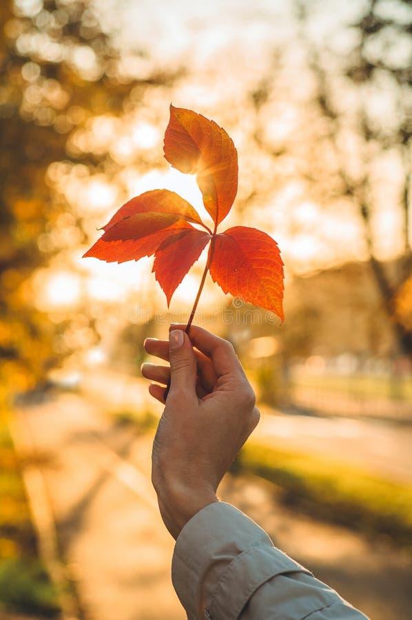 拿着在秋天太阳的手女孩常春藤叶子树 秋天黄色晴朗的图片