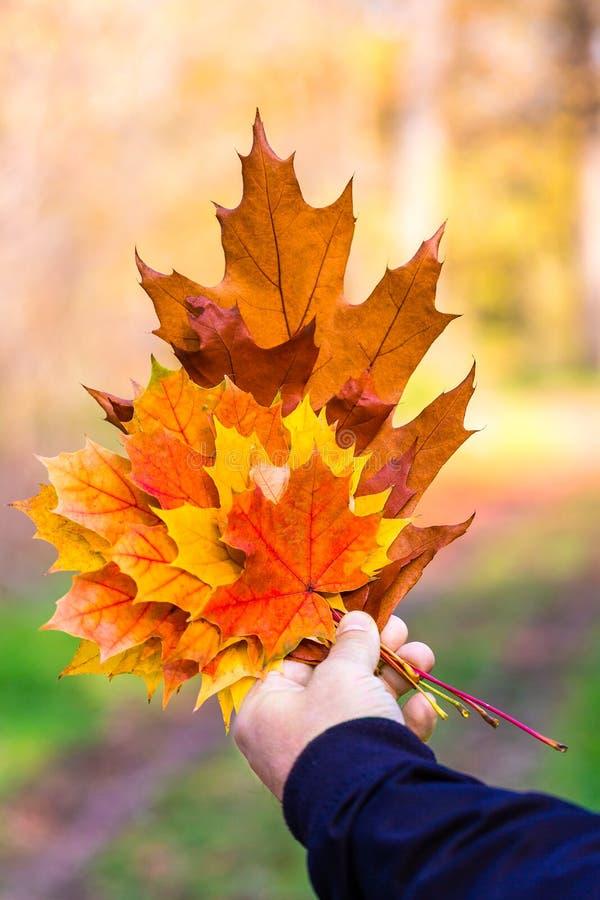 拿着在秋天晴朗的背景的男性手明亮的多色叶子 自然爱的概念  库存照片