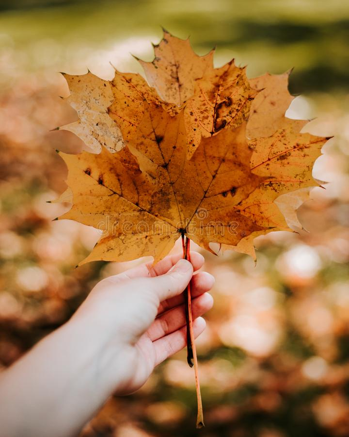 拿着在秋天黄色叶子背景的手黄色枫叶图片