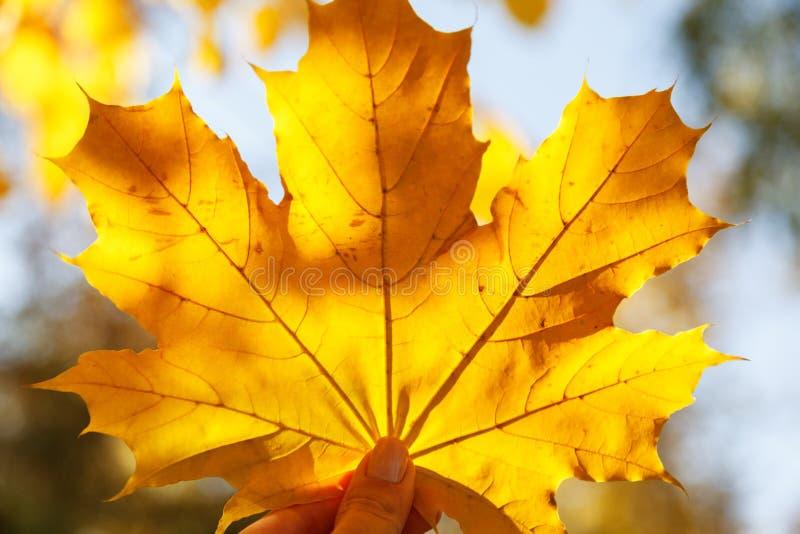 拿着在被弄脏的背景,秋天好日子的手一个黄色枫叶特写镜头 秋天的标志 库存图片