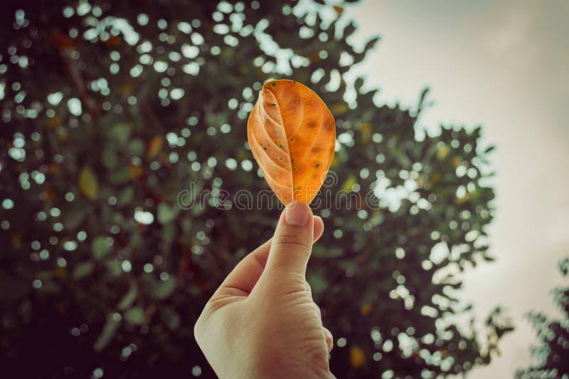 拿着在那里背景的手一片黄色叶子是秋天树在森林或公园里 免版税库存照片