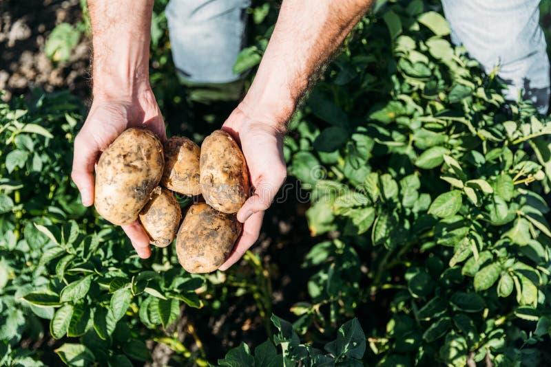 拿着在领域的农夫土豆 免版税库存照片