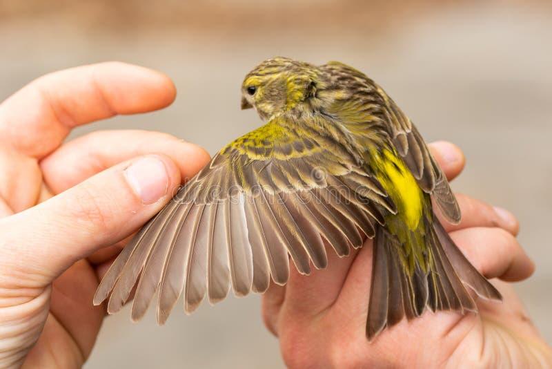 拿着在鸟条带的欧洲serin雀类雀类/敲响会议的科学家和seing它的年龄 免版税库存图片